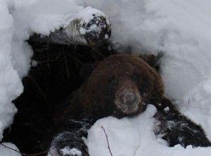 Охота на медведя на берлоге